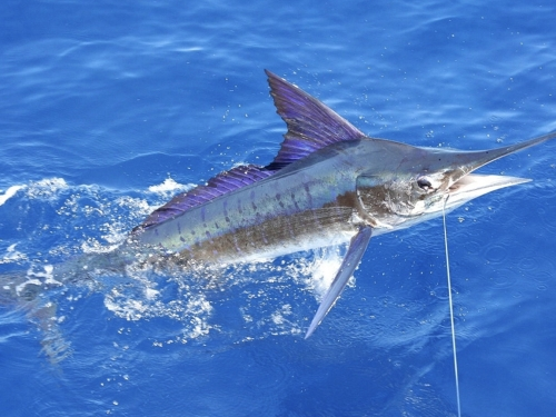 Fishfinder Game & Sport Fishing Stripe Marlin